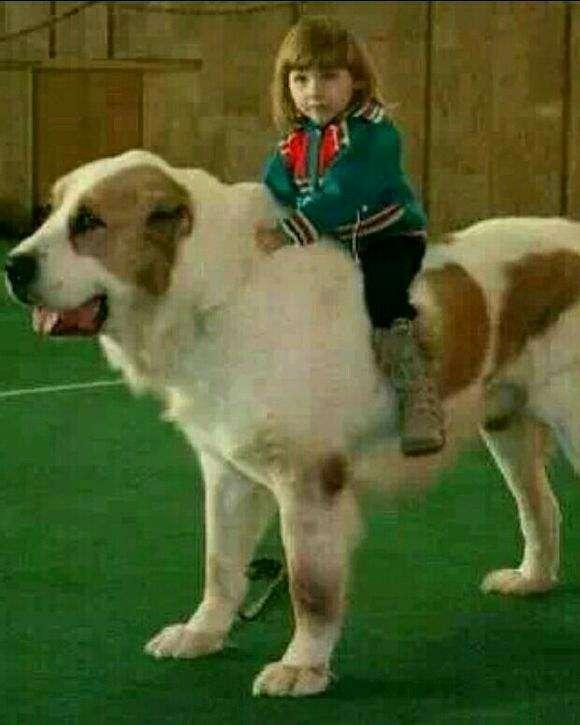 中亚牧羊犬,大白熊犬狗狗找主人